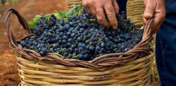Primitivo grapes harvest in Apulia
