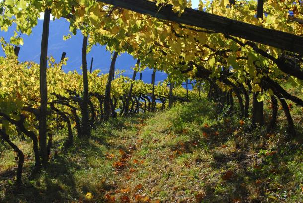 Typical high altitude vineyard in Alto Adige