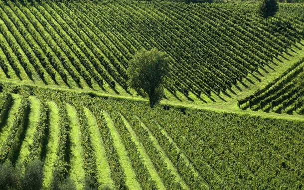 Tuscan verdant vineyard landscape