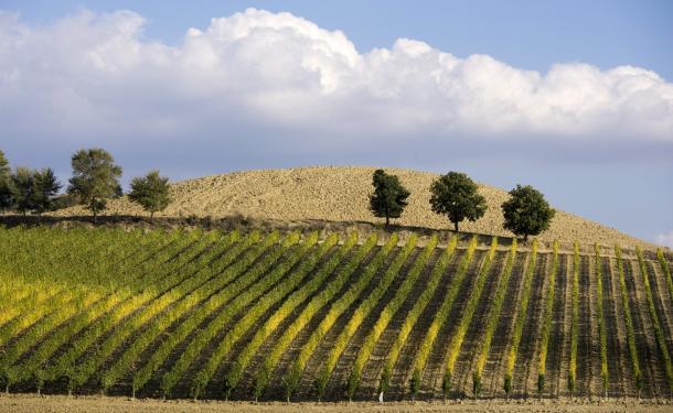 Sun kissed vineyard in Umbria