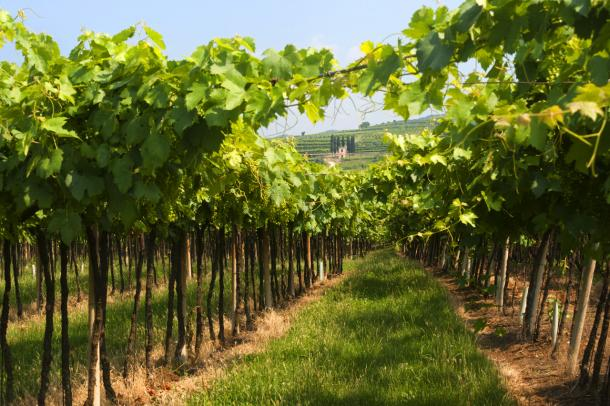 Vineyard summer view in Lessinia, province of Verona